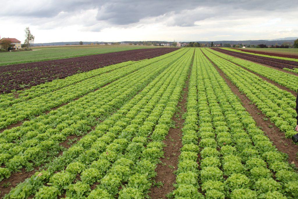 Salatfeld ganz frisch