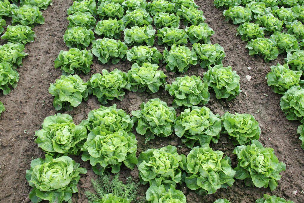 Salat frisch angebaut