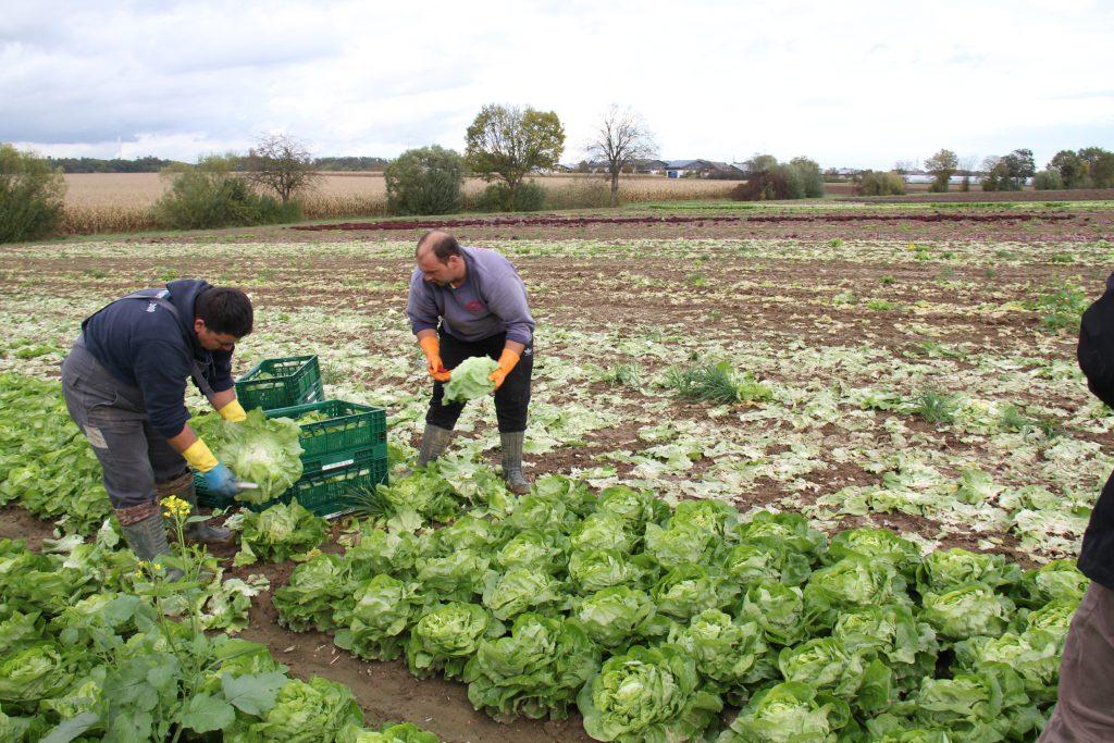 Ernte von frischem Salat